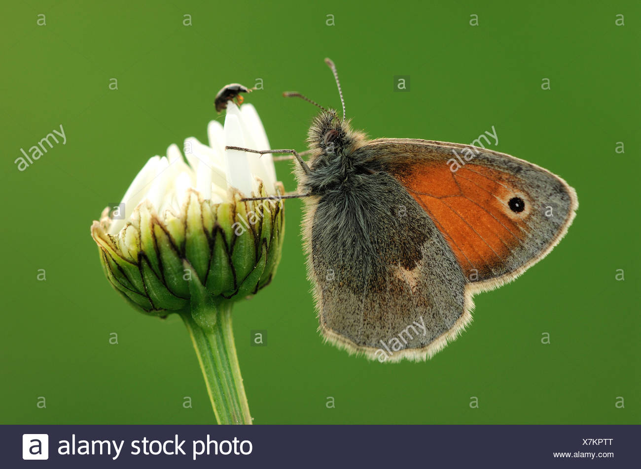 Small heath (butterfly) (Coenonympha pamphilus) - Stock Image