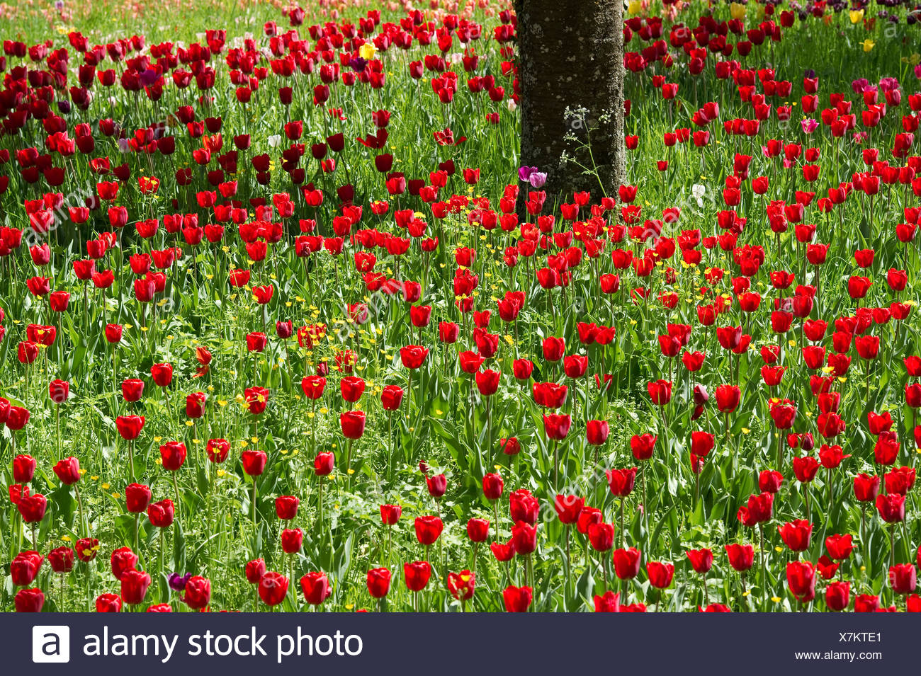 Red tulips, tulip field, Insel Mainau, Konstanz, Baden-Württemberg, Germany - Stock Image