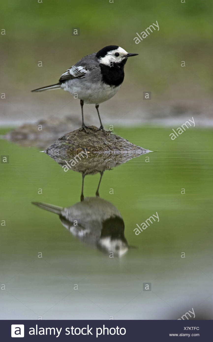 pied wagtail (Motacilla alba), male on a stone in a pond, Belgium - Stock Image