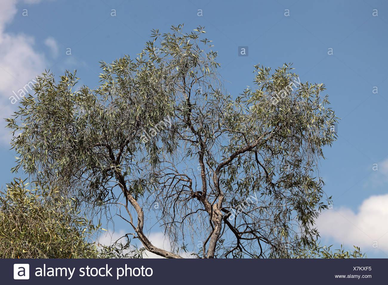Afrikanischer Olivenbaum - Stock Image