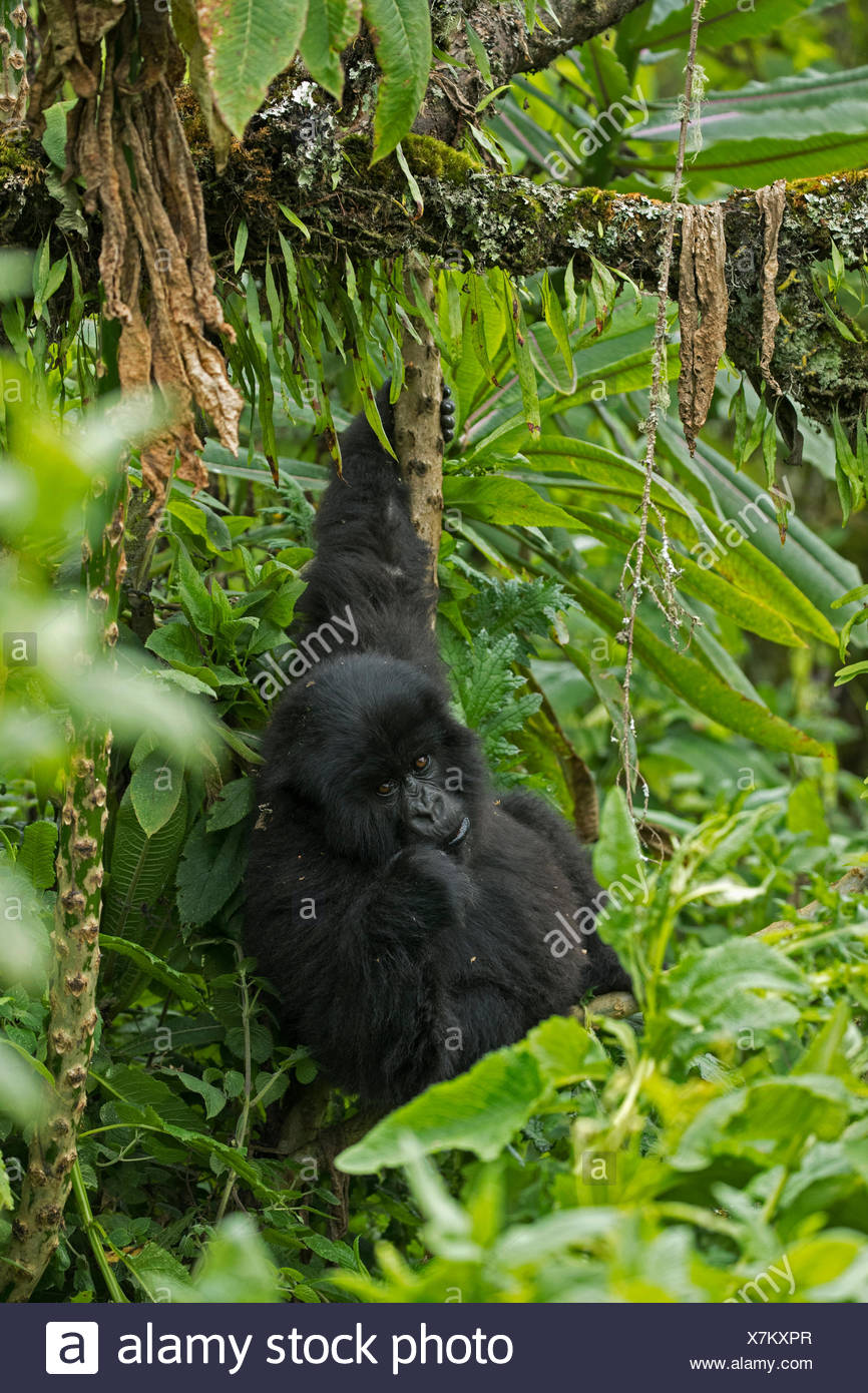 A mountain gorilla in Volcanoes National Park. Stock Photo