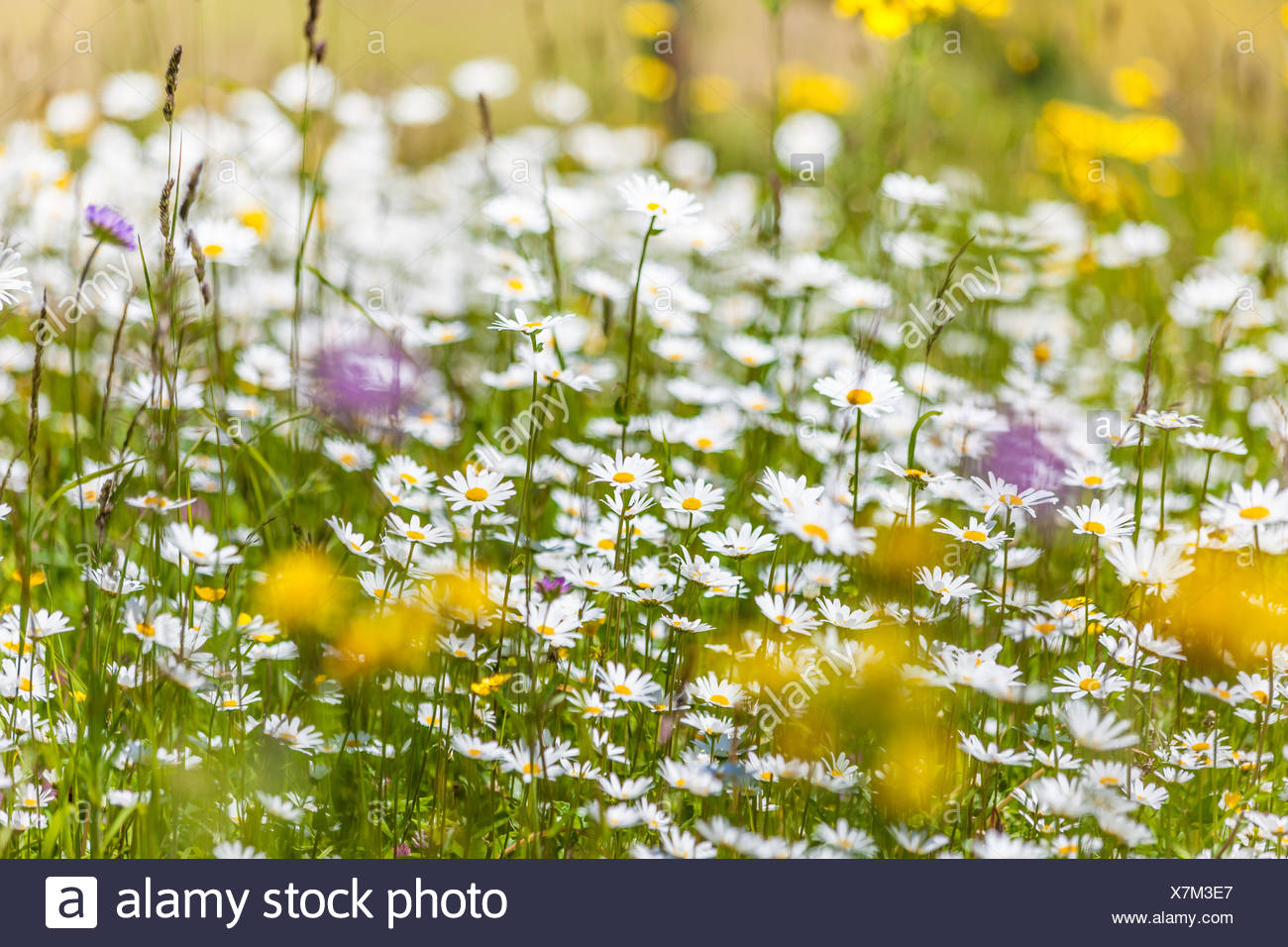botany, summerly mountain meadow in the Upper Villnoesstal near St. Magdalene, South Tyrol, Italy, Additional-Rights-Clearance-Info-Not-Available - Stock Image