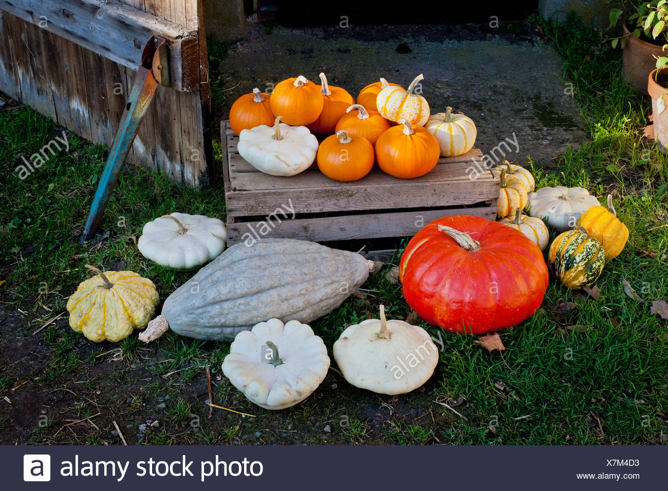 Elevated view of pumpkins - Stock Image