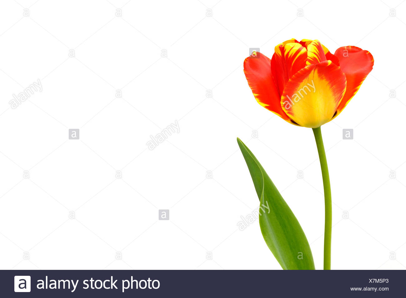 Tulip (Tulipa), red, yellow Stock Photo