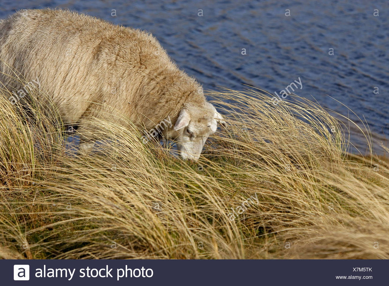 Sheep (Ovis aries) is grazing in long grass, Sylt, Germany, elevated view - Stock Image