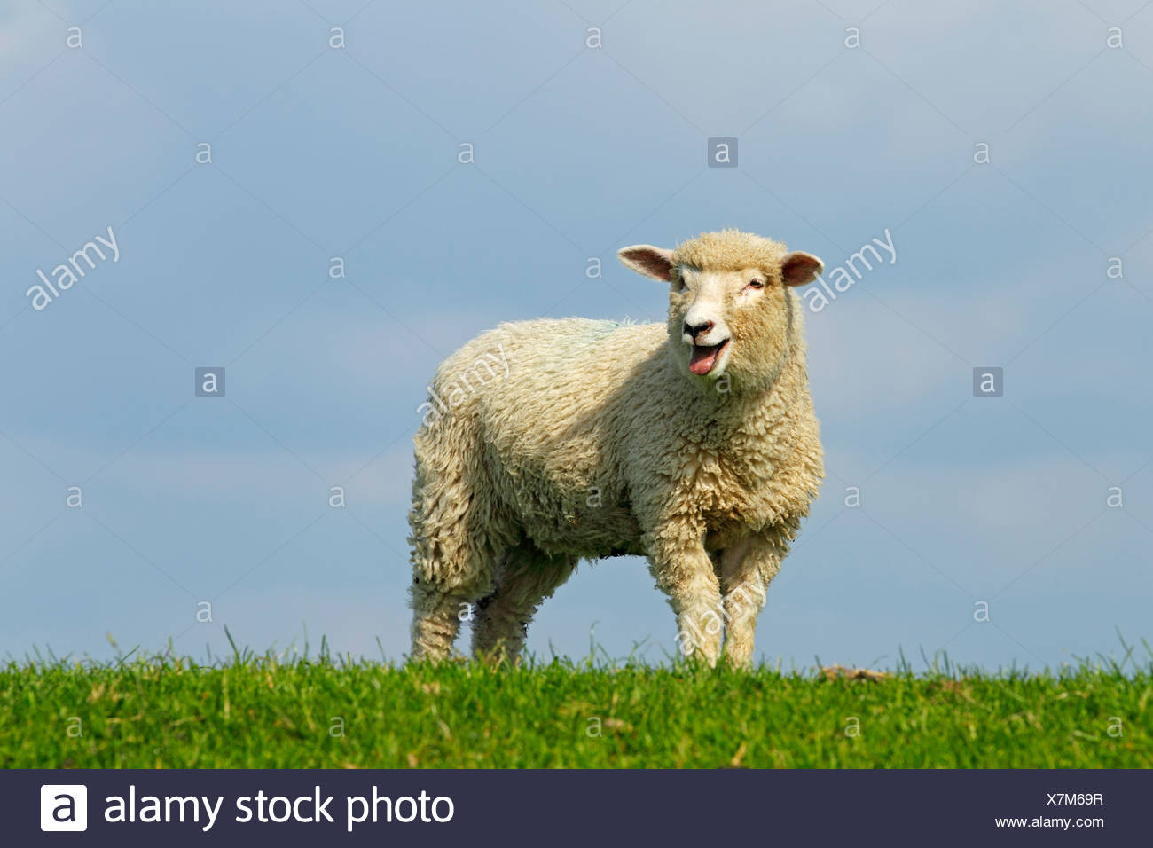 Domestic sheep (Ovis orientalis aries), bleating lamb standing on a dyke of the Elbe River - Stock Image