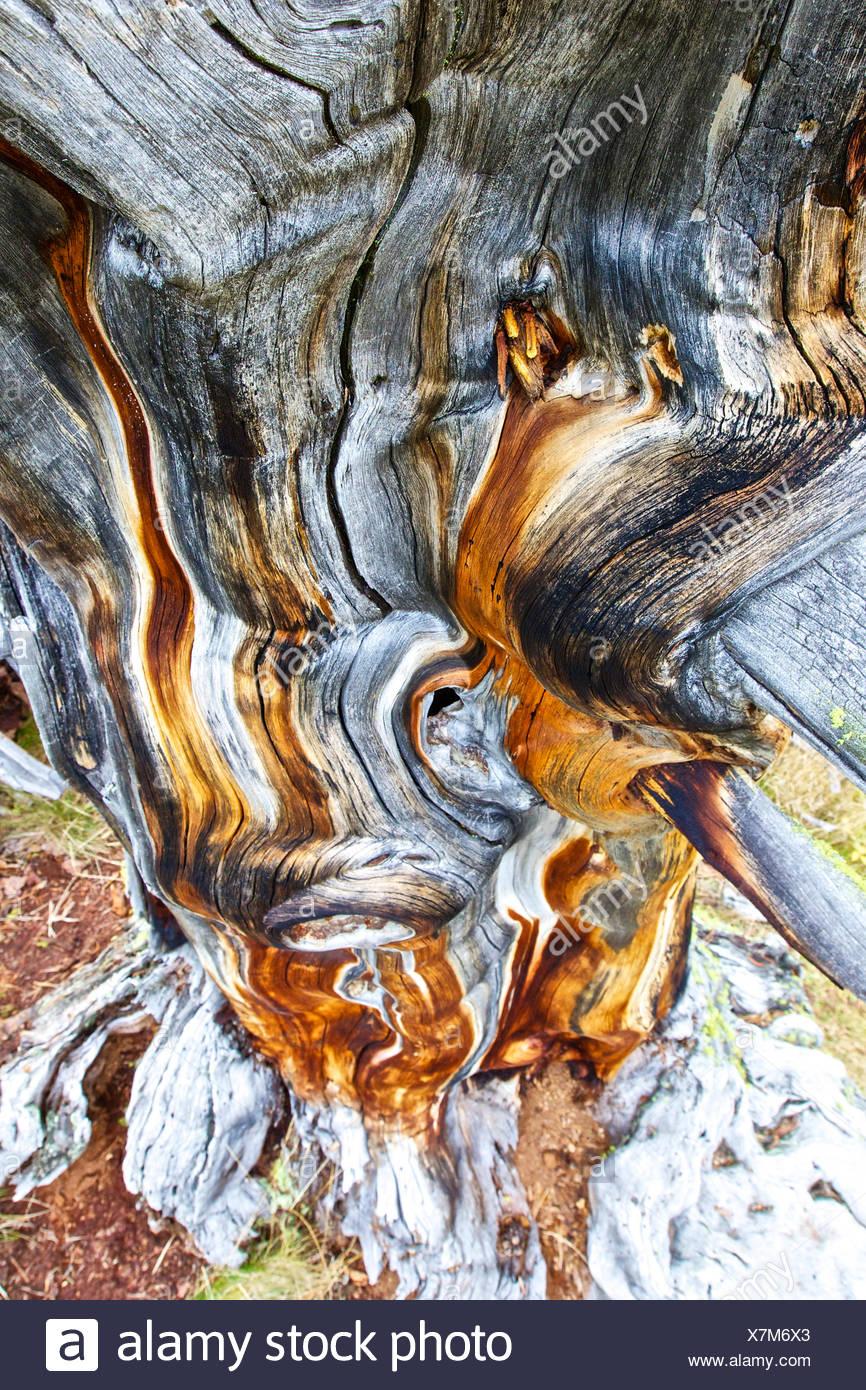 Coarse woody debris of an Swiss pine, Tamangur, Lower Engadine, Canton of Grisons, Switzerland - Stock Image