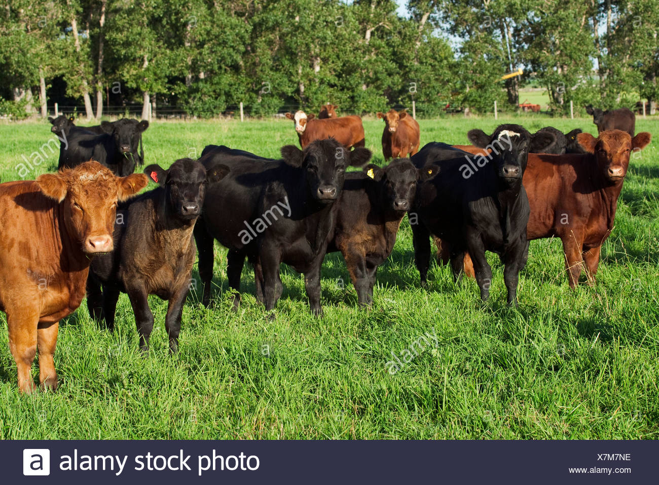 Livestock - Black and red Angus beef cows and calves on a green pasture / Alberta, Canada. - Stock Image