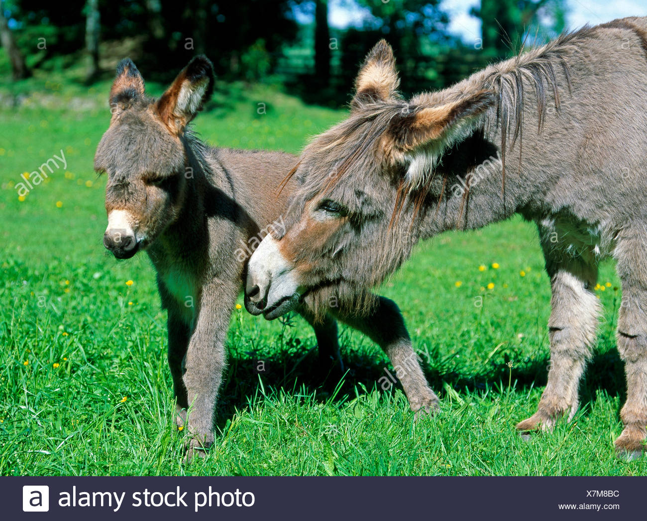 Donkey mare leading foal for grazing, summery pasture - Stock Image