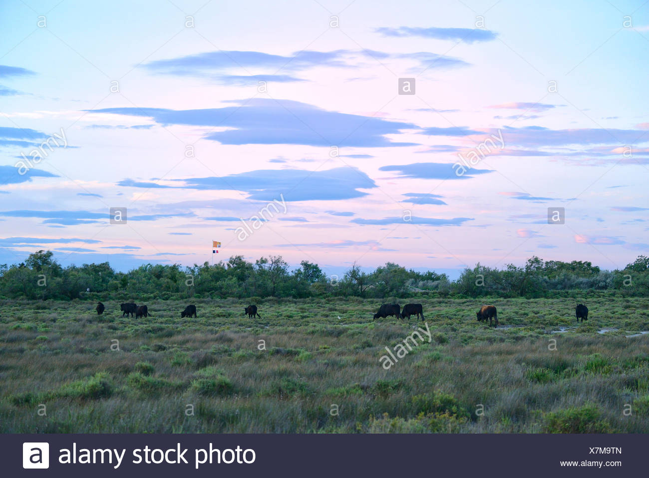 Europe, France, Languedoc- Roussillon, Camargue, bulls, cattle, wetland, animals, - Stock Image