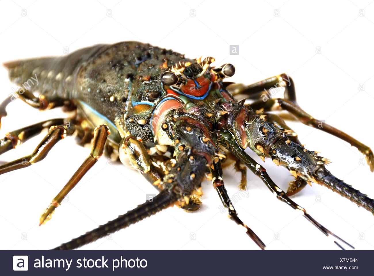 Indonesischer Jung-Lobster (kleiner Hummer) - Stock Image