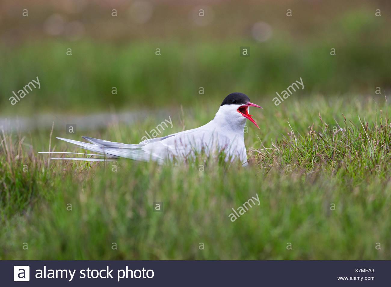 Arctic tern (Sterna paradisaea), calling, on nest, Longyearbyen, Svalbard Archipelago, Arctic Norway. - Stock Image