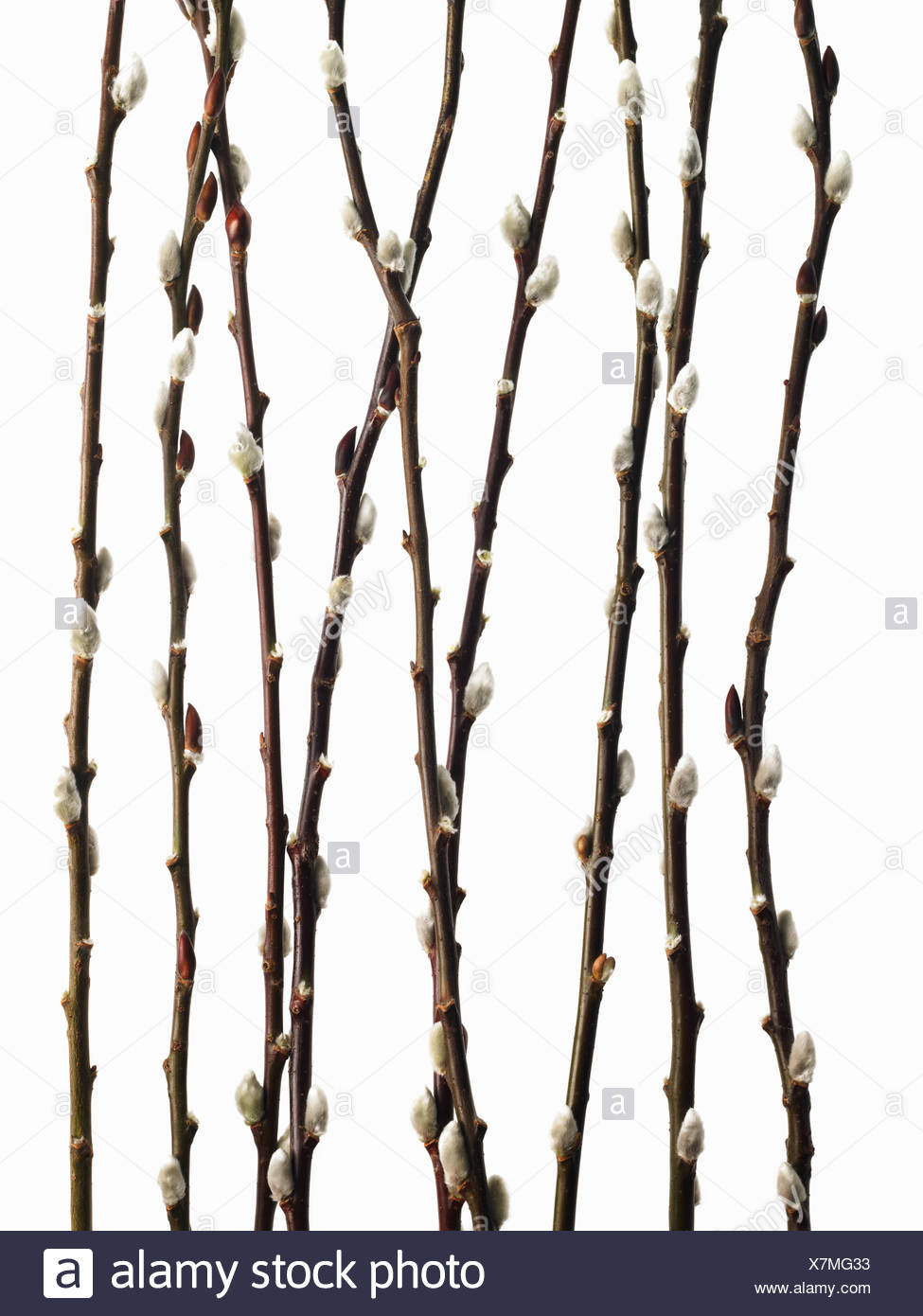 Twigs budding flowering shrubs Salix pussywillow - Stock Image