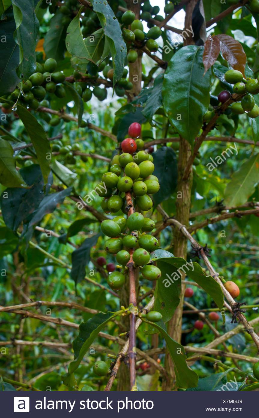 Coffee (Coffea arabica) - Stock Image