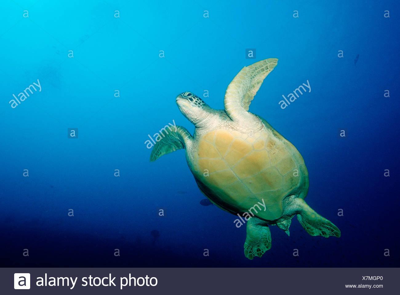 Hawksbill Turtle Eretmochelys imbricata Indian Ocean Maldives Island - Stock Image