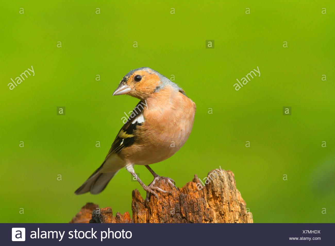 chaffinch (Fringilla coelebs), male on a tree snag, Germany, North Rhine-Westphalia - Stock Image