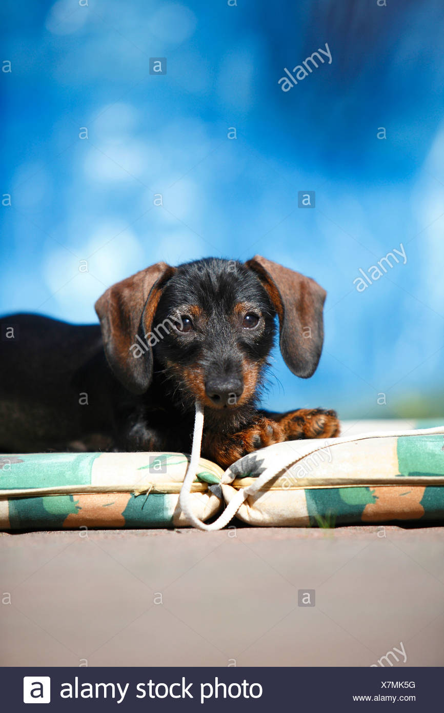 Dachshund Puppies Playing Stock Photos & Dachshund Puppies Playing ...