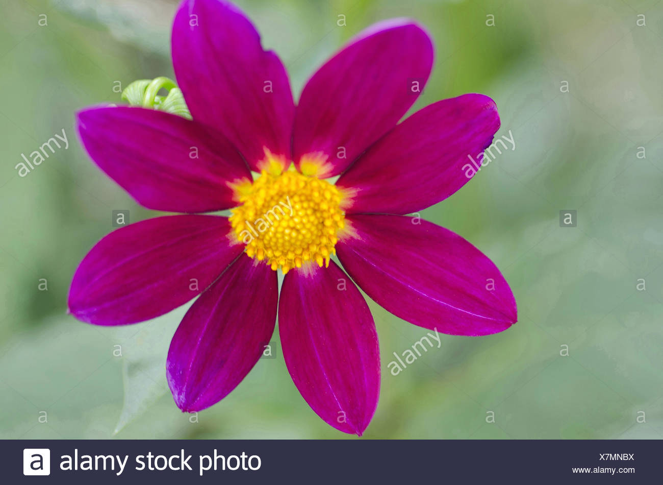 Magenta Dahalia, Harish-Chandra Research Institute Campus, Allahabad, Uttar Pradesh, India - Stock Image