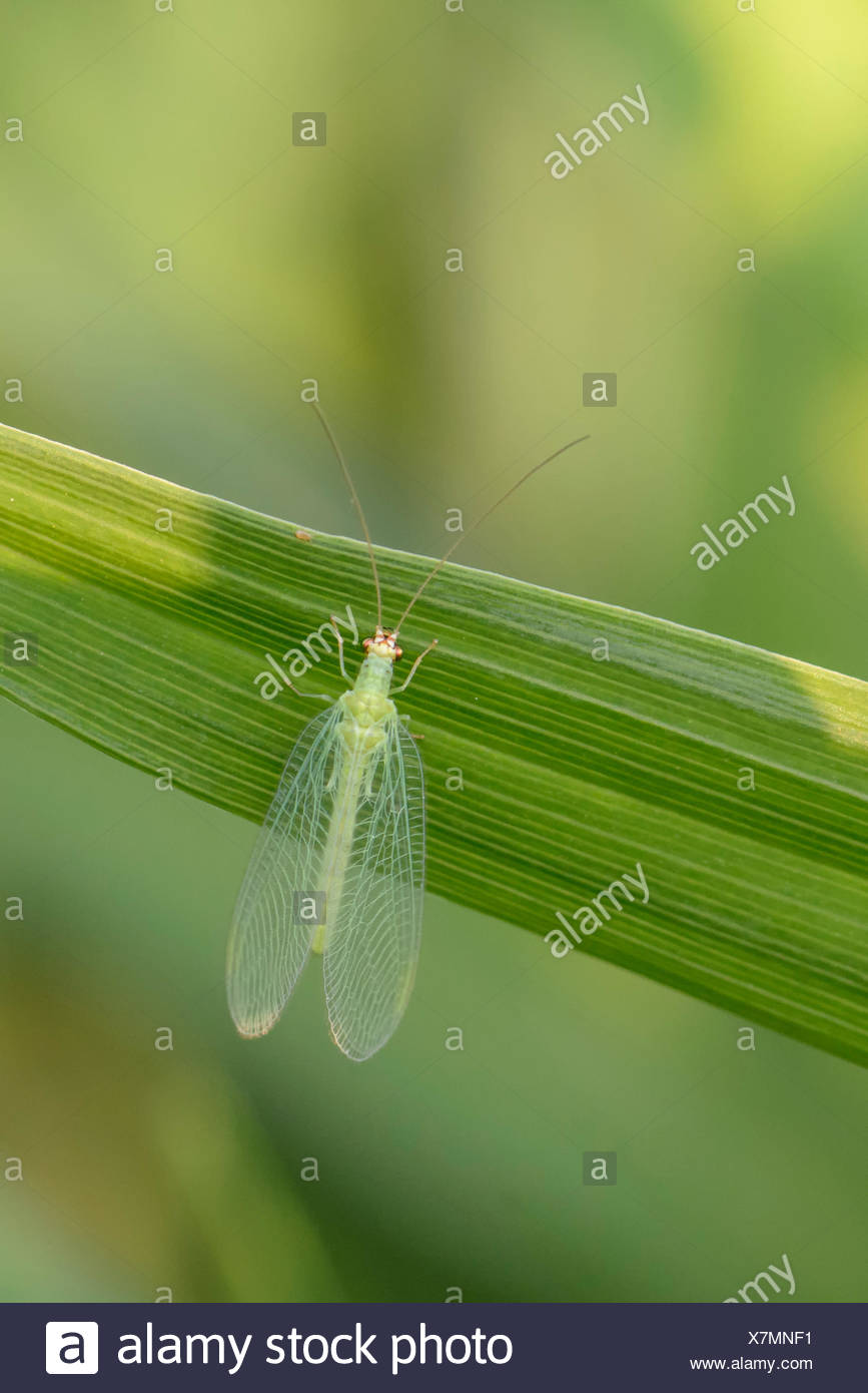 Lacewing, predator of harmful insects, Warman, Saskatchewan, Canada - Stock Image