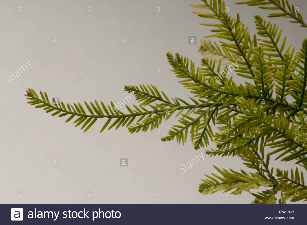 taxodium distichum bald cypressrhs gardening
