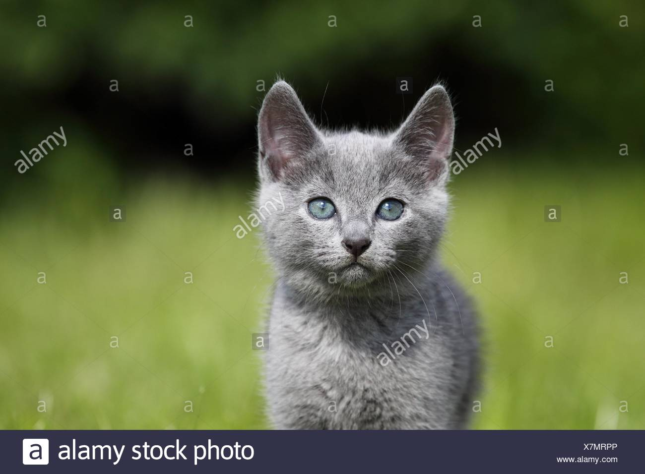 Russian Blue Cats High Resolution Stock Photography And Images Alamy
