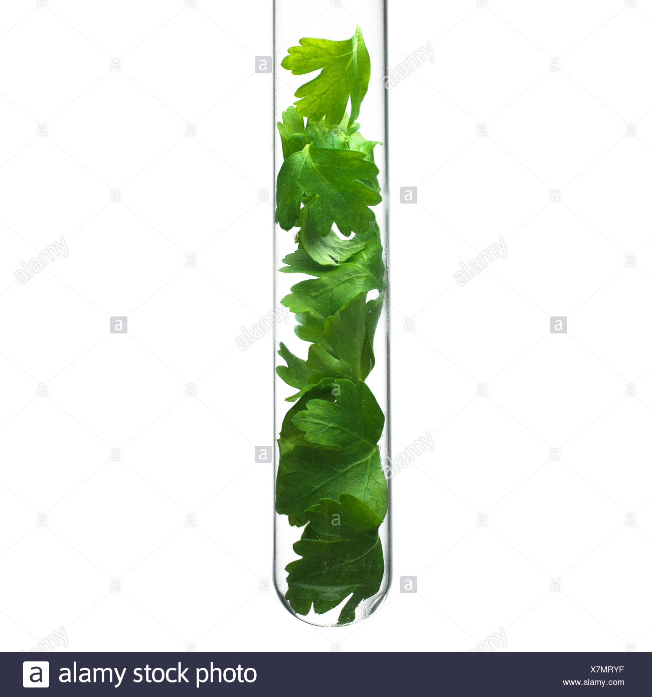 Parsley leaves in a test tube - Stock Image
