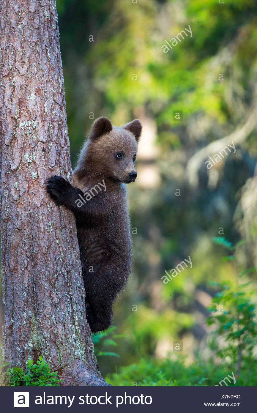 brown bear (Ursus arctos), young baer climbing onto a tree, Finland - Stock Image