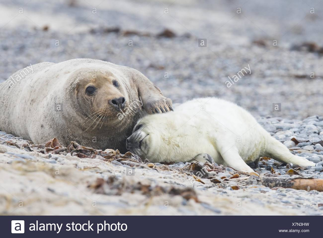 Grey seal, also Atlantic or horsehead seal (Halichoerus grypus), pup lying against mother, Heligoland, Schleswig-Holstein Stock Photo