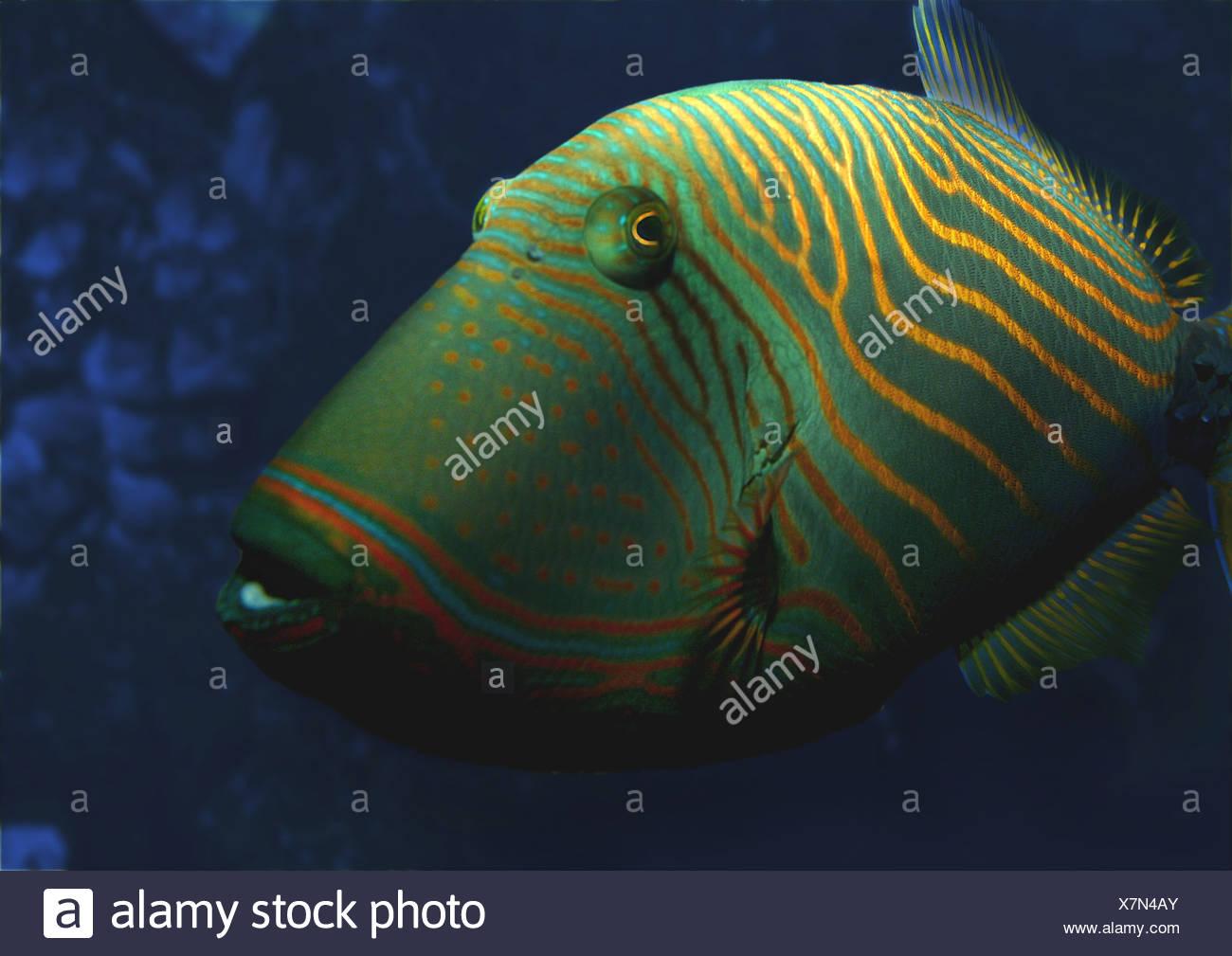 undulate triggerfish stock photos undulate triggerfish stock