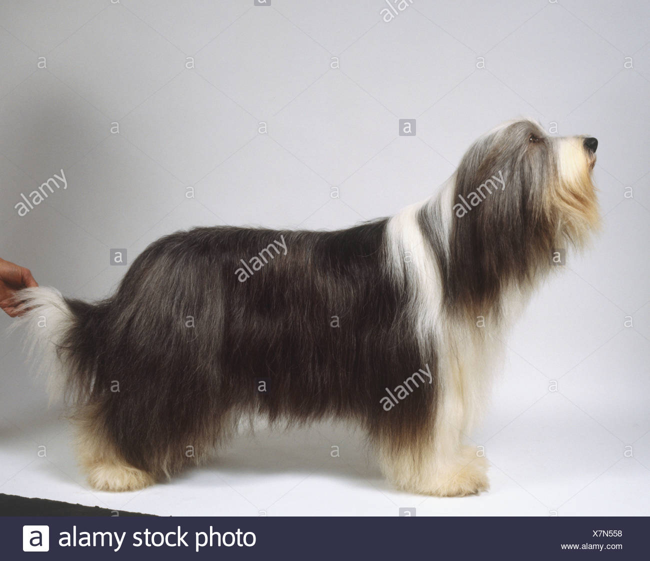 Long haired grey and white bearded collie standing side on. - Stock Image