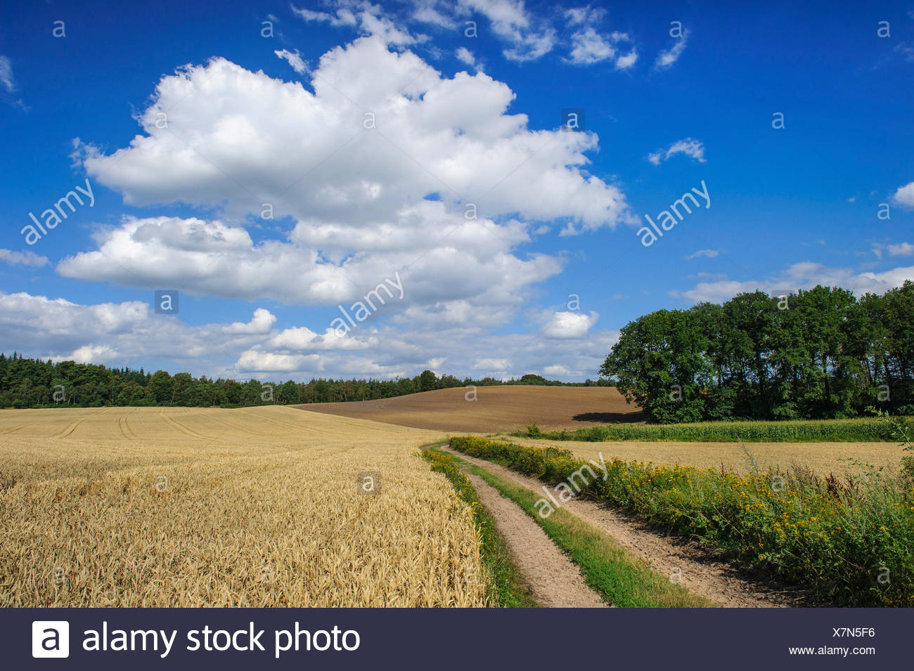 wheatfield in summer, Germany, Lower Saxony, Oldenburger Muensterland, Dammer Berge - Stock Image
