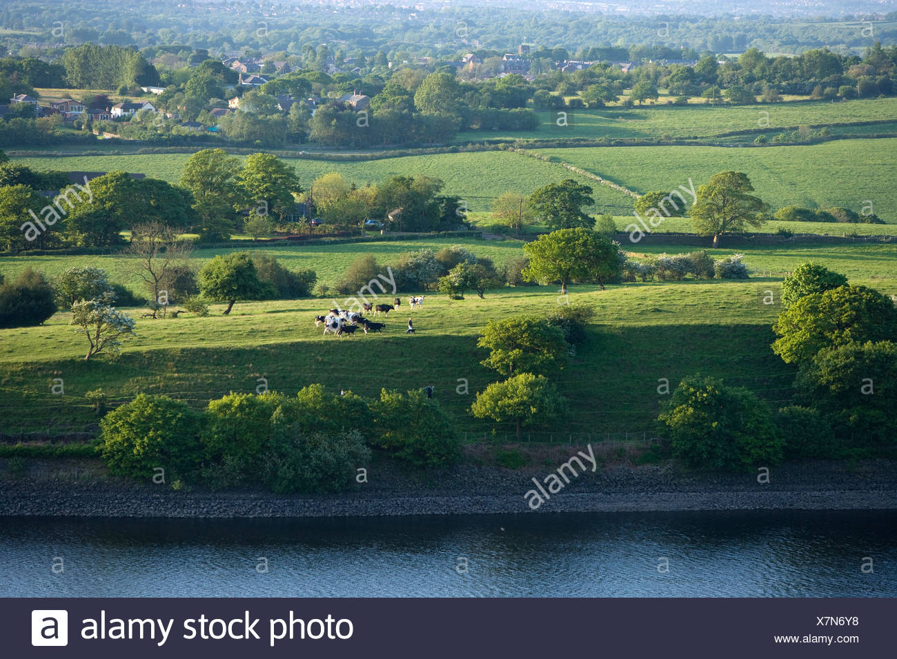 pastureland in Lancashire with Friesian cattle - Stock Image