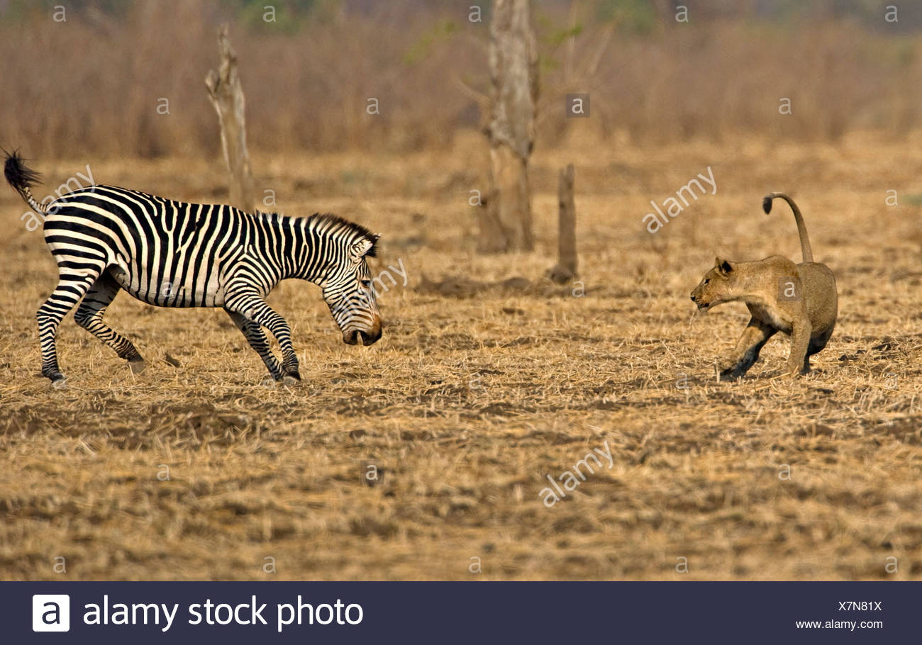 African Lion (Panthera leo) playing with Burchells Zebra -originally chased but not serious. Luangwa Valley. Zambia. Africa - Stock Image