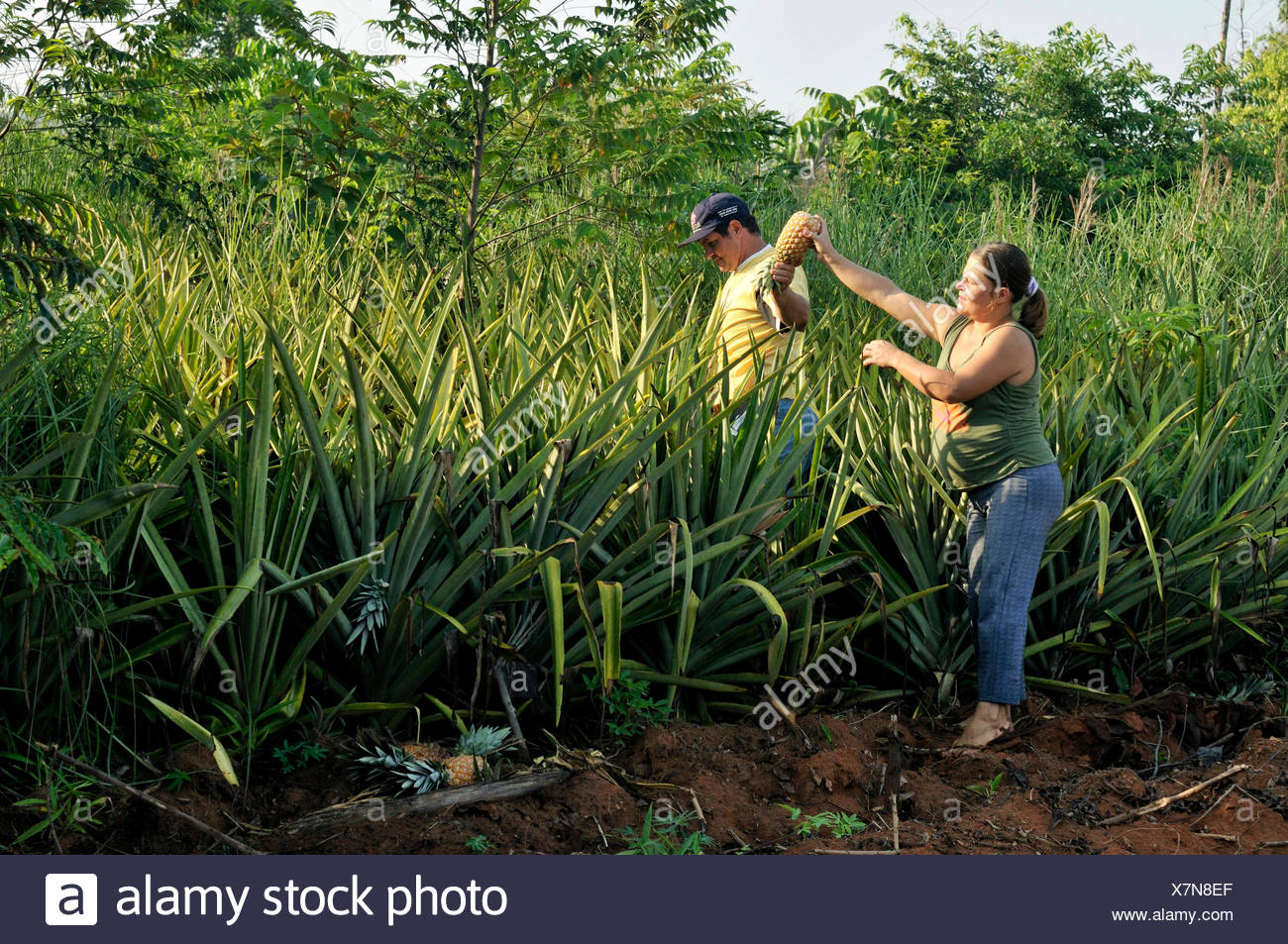 Pineapple harvest by hand, small-scale agriculture in a settlement of formerly landless peasants, land reform - Stock Image