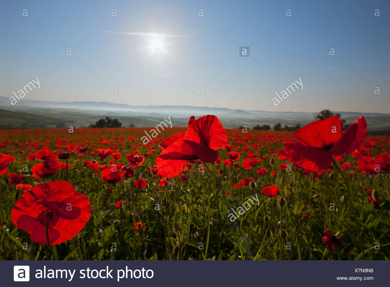 Italy, Tuscany, Crete, View of red poppy field at sunrise Stock Photo
