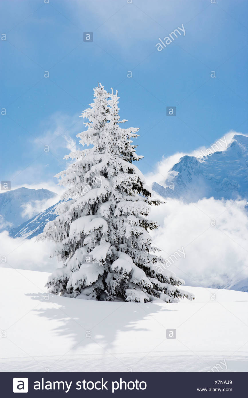 Fir tree covered in fresh snow Stock Photo