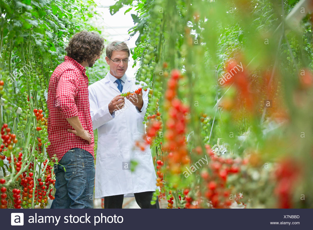 Food scientist and grower inspecting tomatoes ripening on vine in greenhouse - Stock Image
