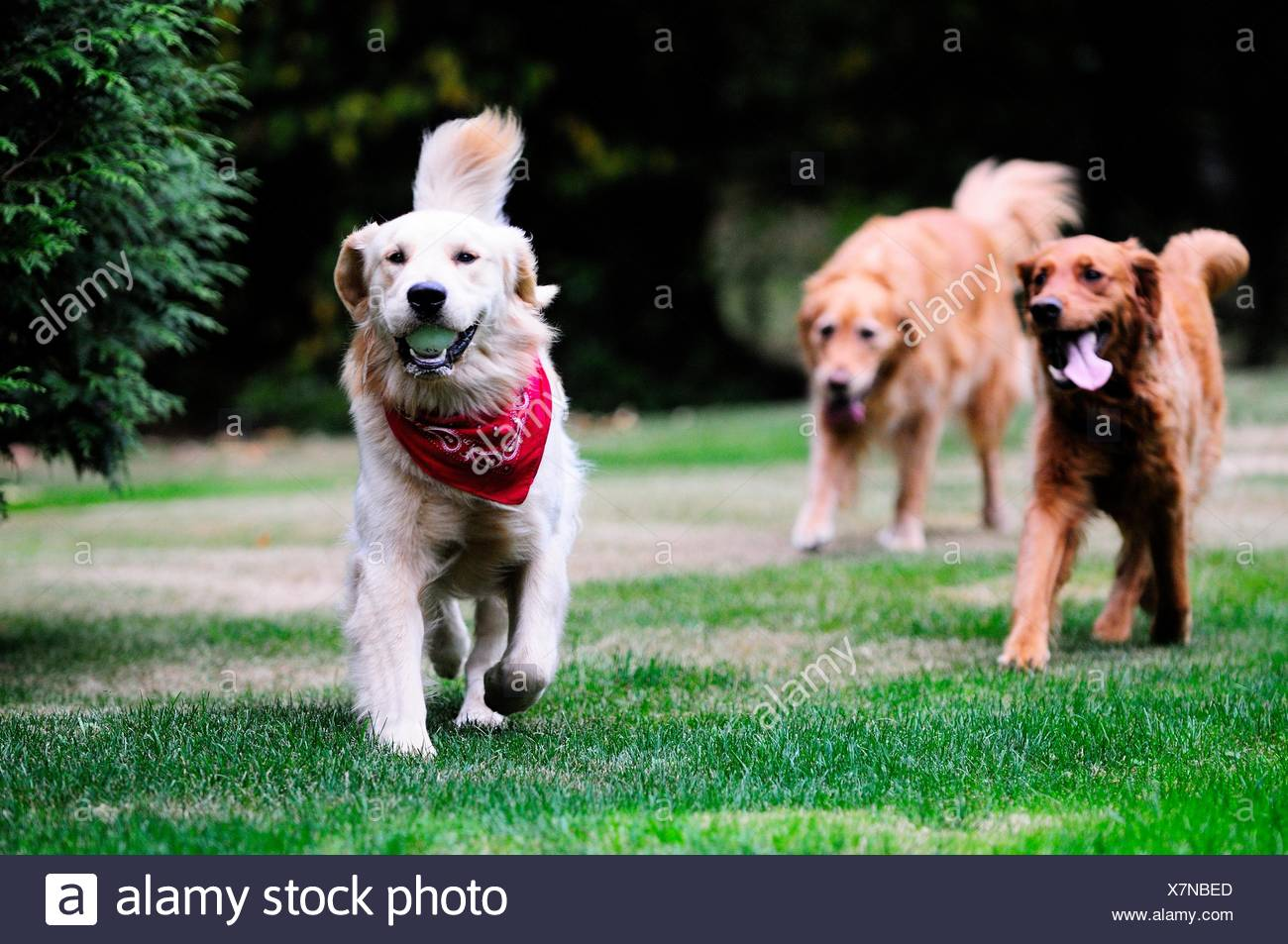 Two Golden Retrievers chase after a third Golden Retriever that has a ball. - Stock Image
