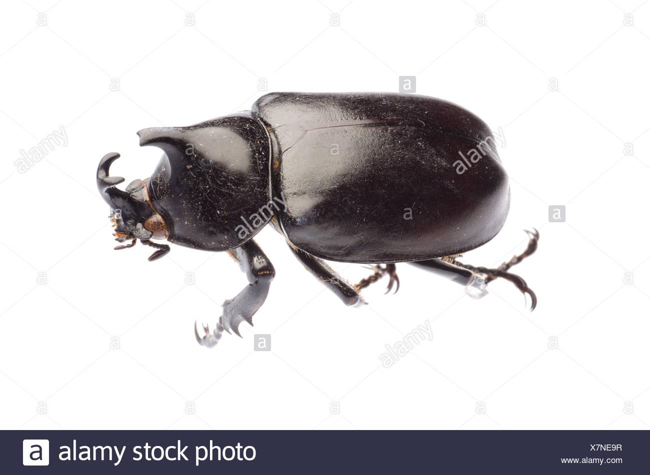 giant scarab rhino beetle - Stock Image