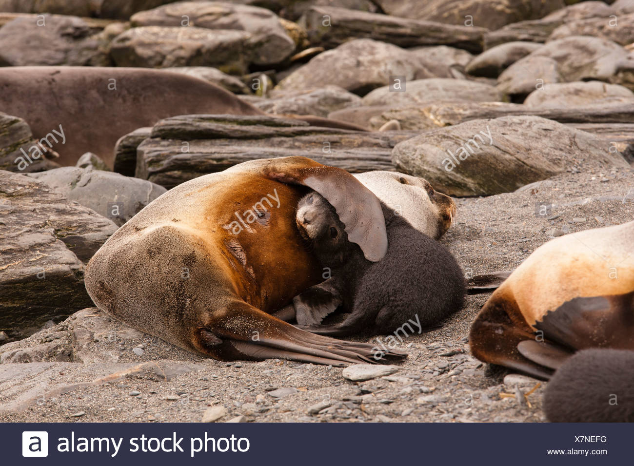 Antarctic Fur Seal mother and five day old  baby on beach, Godthul Beach, South Georgia - Stock Image