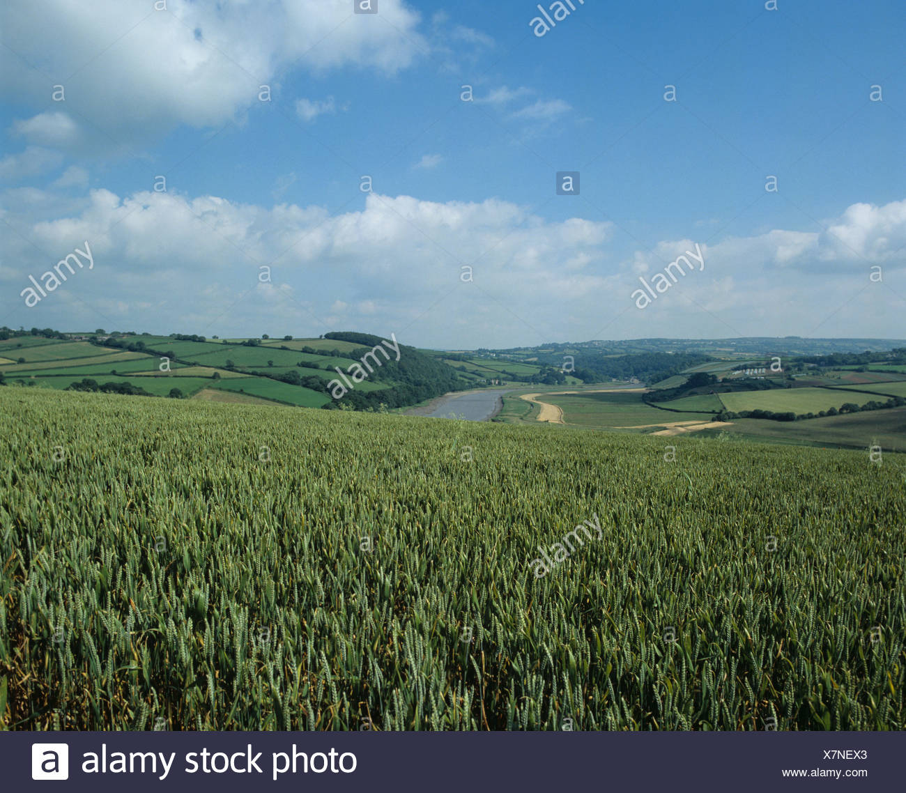 Wheat crop in green unripe ear on the Devon Cornwall border overlooking the Tamar River Stock Photo