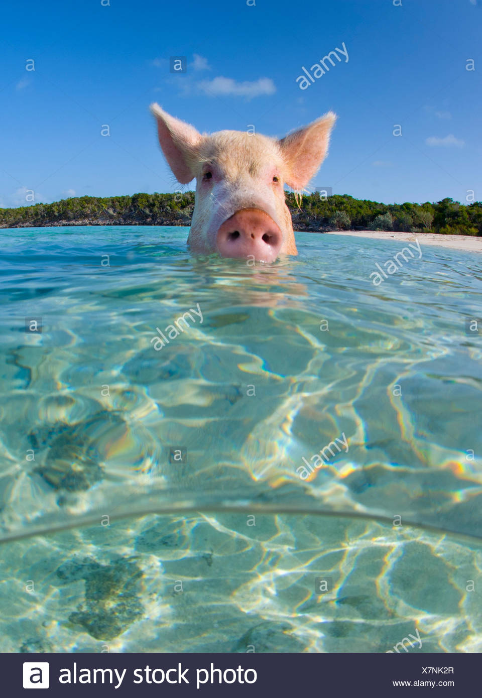 A domestic pig (Sus scrofa domestica) swimming in the sea. Exuma Cays, Bahamas. Tropical West Atlantic Ocean. This family of pigs live on this beach in the Bahamas and enjoy swimming in the sea. - Stock Image