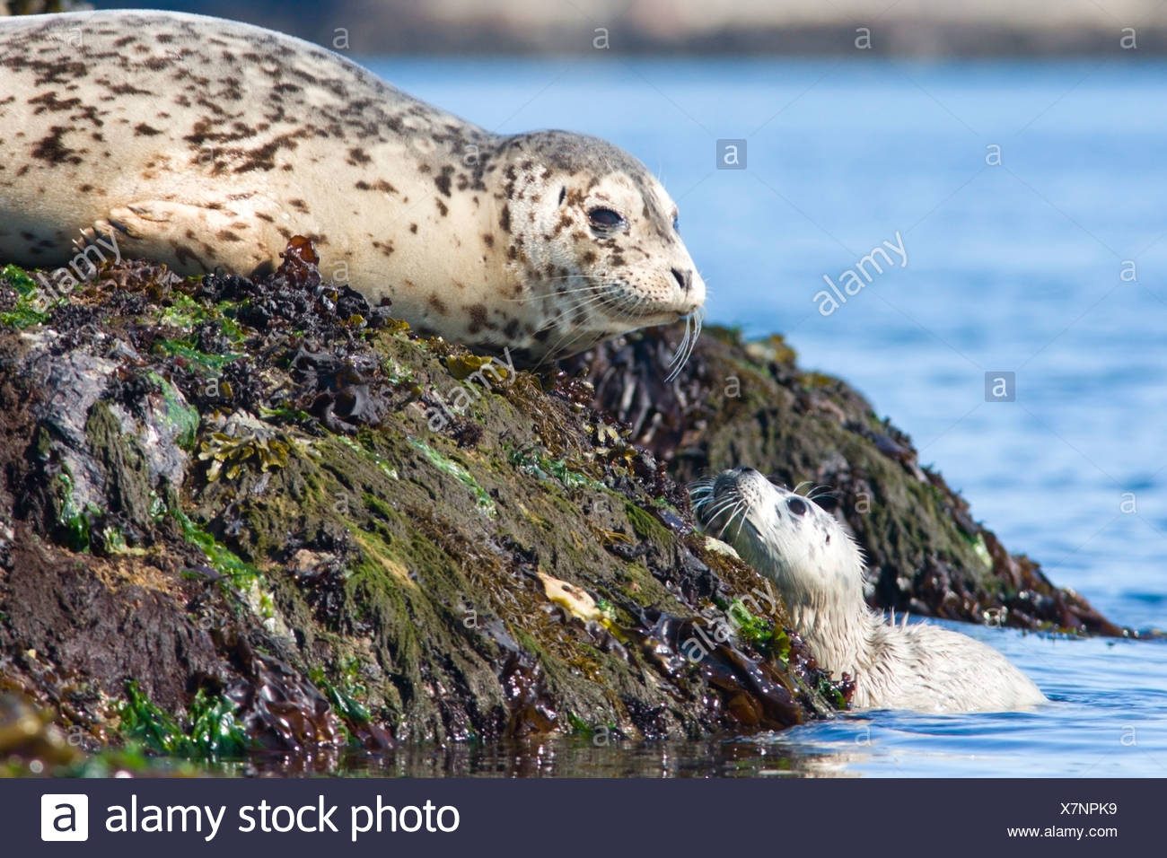 Fur seals (Callorhinus ursinus) adult and pup basking on rocks near Victoria, Vancouver Island, British Columbia, Canada - Stock Image