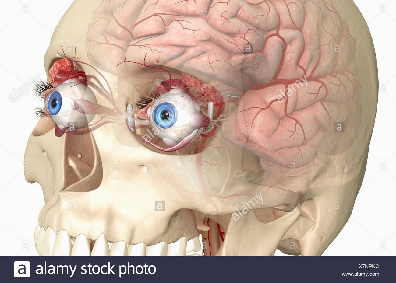 The lacrimal apparatus Stock Photo: 280147264 - Alamy