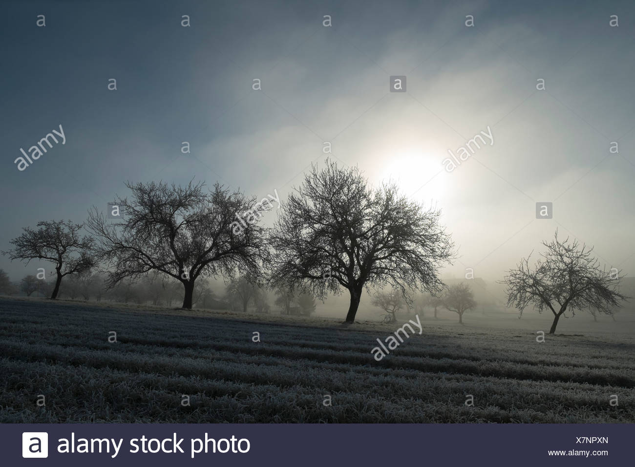 Germany, Baden-Wuerttemberg, Tuttlingen district, meadow with scattered fruit trees and wafts of mist - Stock Image