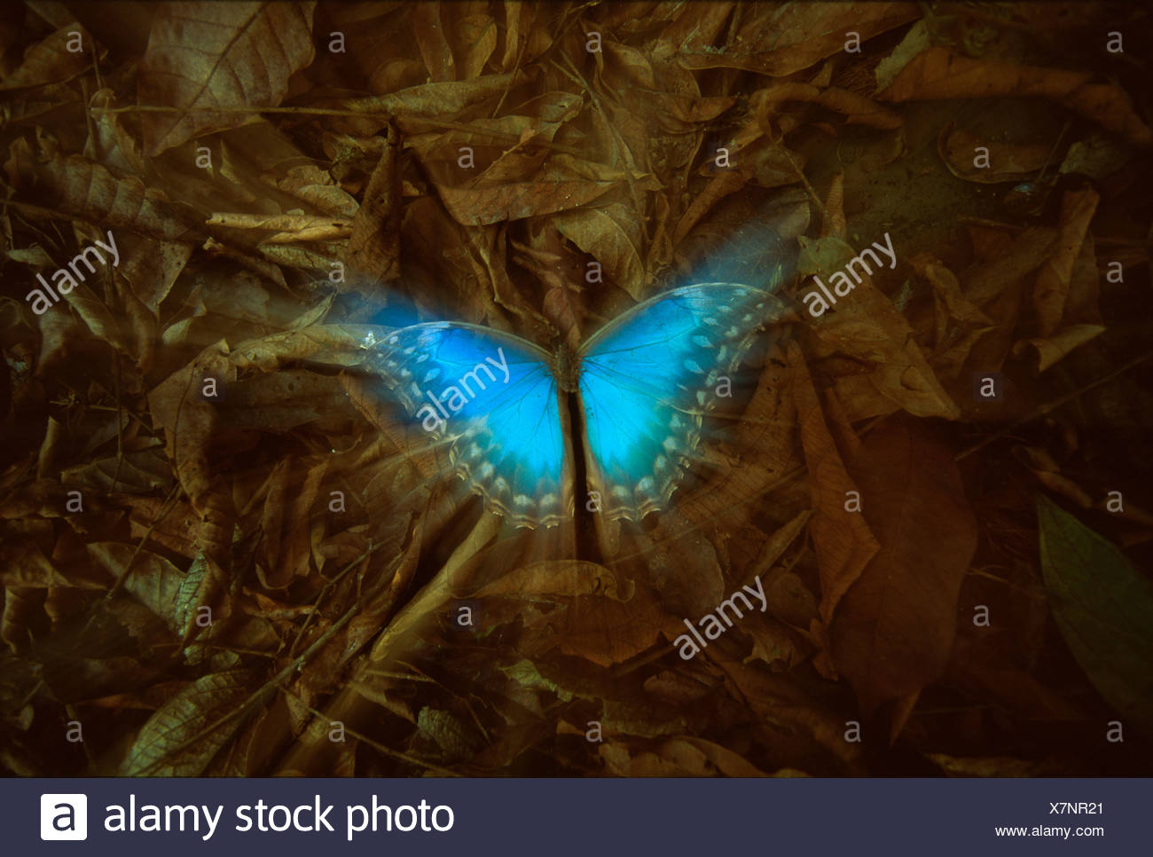 A dead Blue Morpho butterfly lies amonst the brown leaves on forest floor, Corcovado National Park, Costa Rica (Morpho peleides) - Stock Image