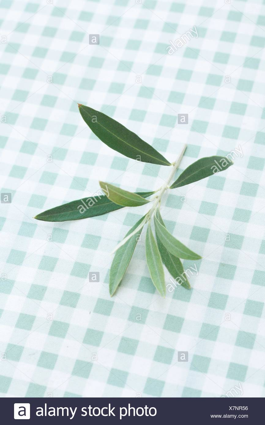 Olive tree twig - Stock Image
