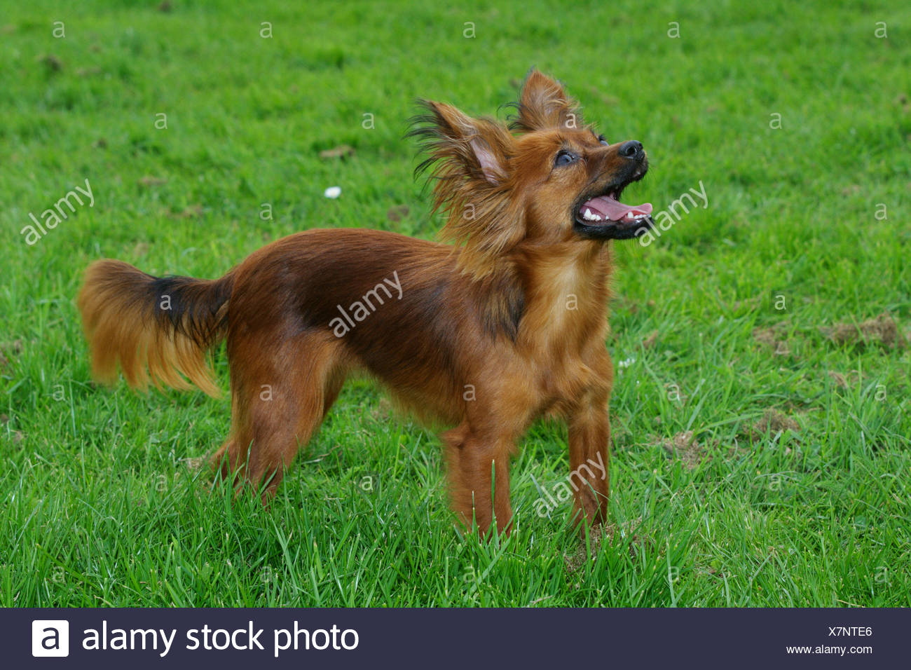 Russkiy Toy, Russian Toy (Canis lupus f. familiaris), longhaired Russkiy Toy standing in a meadow Stock Photo