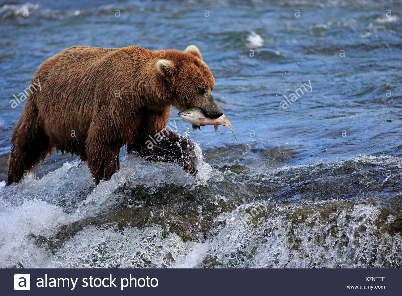 Grizzly Bear adult in water feeding on salmon Brookes River Katmai Nationalpark Alaska USA North America / (Ursus arctos Stock Photo