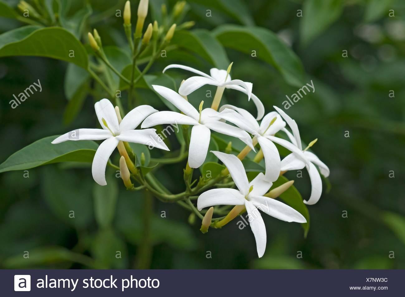 Twisted jasmine (Jasminum tortuosum). Called African jasmine and Perfume jasmine also. - Stock Image